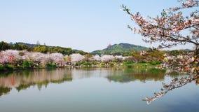 Зацветая вишневые цвета Стоковые Изображения