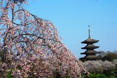 Зацветая вишневые цвета Стоковые Фотографии RF