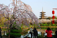 Зацветая вишневые цвета Стоковое Фото