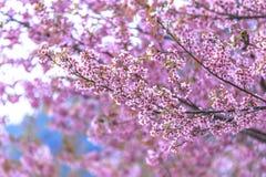 Зацветая вишневый цвет в Чиангмае, Таиланде Стоковое Изображение RF