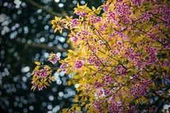 Зацветая вишневый цвет в Чиангмае, Таиланде Стоковое Изображение