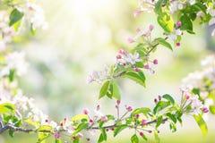 Зацветая вишневый цвет Цветок весны в саде Стоковые Изображения