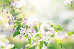 Зацветая вишневый цвет Цветок весны в саде Стоковая Фотография