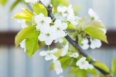 зацветая вишня ветви цветет весна sakura Стоковая Фотография