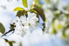 зацветая вишня ветви цветет весна sakura Стоковое Изображение