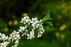 зацветая вишня тюльпаны красной весны сада цветков вишни близкие поднимают белизну Стоковая Фотография