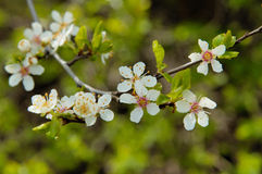 зацветая вишня Стоковое фото RF