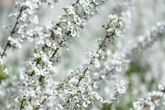 зацветая вишня Стоковые Фото