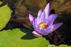 зацветая вода лилии Стоковые Фото