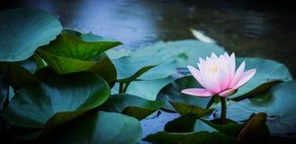 зацветая вода лилий Стоковые Изображения RF