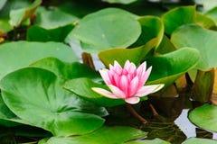 зацветая вода лилий Стоковая Фотография RF