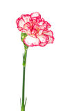 Зацветая гвоздика изолированная на белизне Стоковое Фото