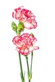 Зацветая гвоздика Стоковая Фотография