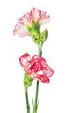 2 зацветая гвоздики Стоковая Фотография RF