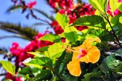 Зацветая гибискус цветет весной время Остров Мадейры Стоковое фото RF