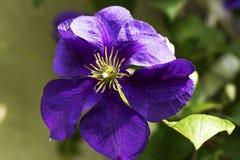 Зацветая гибридное jackmani Clematis x clematis ` s Jackman сорта растения стоковая фотография rf