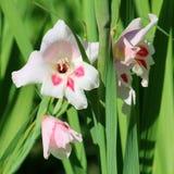 Зацветая гладиолус Nanus в саде Стоковая Фотография
