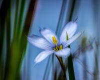 Зацветая голубоглазая трава Стоковые Изображения