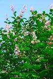 зацветая голубое небо сирени Стоковое Изображение