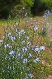 Зацветая голубой wildflower, освещенная задняя часть Стоковые Изображения RF