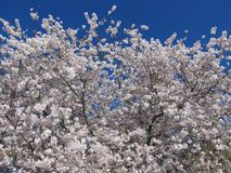 Зацветая груша Брэдфорда Стоковая Фотография