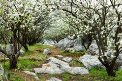 зацветая груша Стоковое Фото