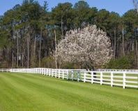зацветая грушевое дерев дерево bradford Стоковые Фотографии RF
