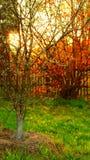 Зацветая грушевое дерев дерево на фоне красной лещины Стоковые Изображения RF