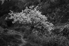 Зацветая дерево в горах Израиле Галилеи стоковое фото rf