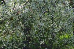Зацветая дерево в парке Стоковая Фотография RF