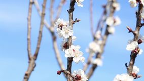 Зацветая дерево и пчелы собирая нектар сток-видео