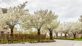 Зацветая деревья вдоль улиц во время весны Стоковая Фотография