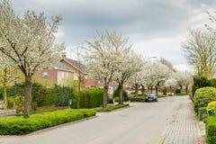 Зацветая деревья вдоль улиц во время весны Стоковое фото RF