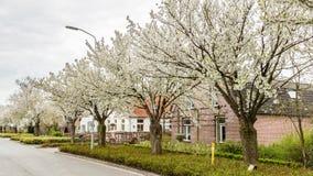 Зацветая деревья вдоль улиц во время весны Стоковое Изображение