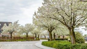 Зацветая деревья вдоль улиц во время весны Стоковые Изображения