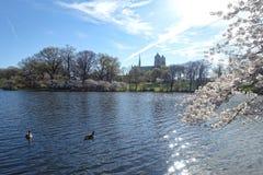 Зацветая деревья и гусыни в парке в Ньюарке Нью-Джерси Стоковая Фотография
