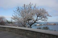 Зацветая деревья Сакуры Стоковое Изображение RF