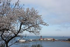 Зацветая деревья Сакуры Стоковое Фото