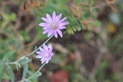 2 зацветая ежегодных вековечных цветка Стоковая Фотография RF
