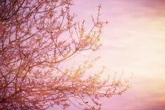 Зацветая дерево над заходом солнца Стоковое Фото