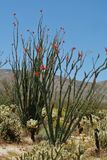 Зацветая деревья ocotillo окруженные chollas плюшевого медвежонка в пустыне южной Калифорнии Стоковые Фотографии RF