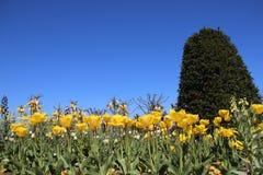 Зацветая желтые тюльпаны и цветки в Springtimeธ стоковое изображение