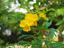 Зацветая желтый колокол, желтеет старейшины, лозы трубы Стоковое фото RF