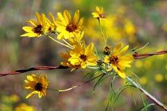 зацветая желтый цвет солнцецветов Стоковые Изображения