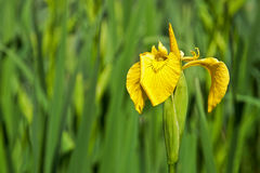 Зацветая желтая радужка Стоковая Фотография RF