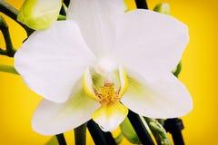 Зацветая желтые цветки орхидеи с бутонами Стоковая Фотография RF