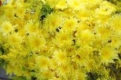 Зацветая желтые цветки хризантемы Стоковое фото RF
