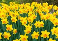 Зацветая желтые daffodils стоковые изображения rf