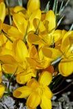 Желтые цветки крокуса стоковые изображения rf