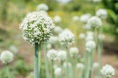 Зацветая завод лука в саде Крупный план цветков белых луков Стоковые Изображения